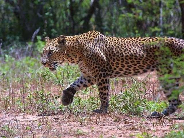 فهود اسود ونمور برية الحيوانات المفترسة feline12.jpg